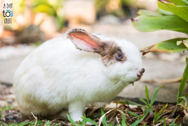 rabbit in garden, karon beach resort