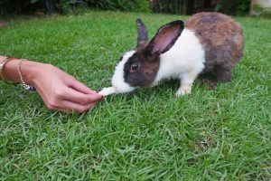 Rabbit_at_Thavorn_Palm_Beach_Resort