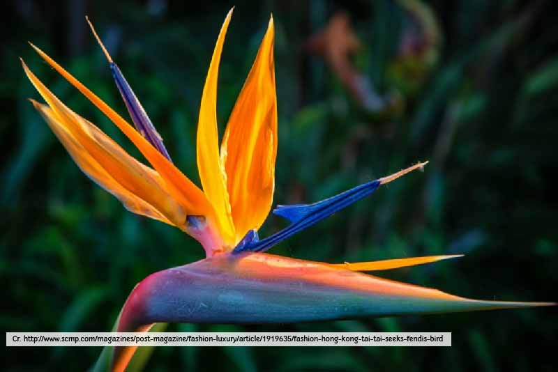 Bird of Paradise - Thailand Tropical Garden
