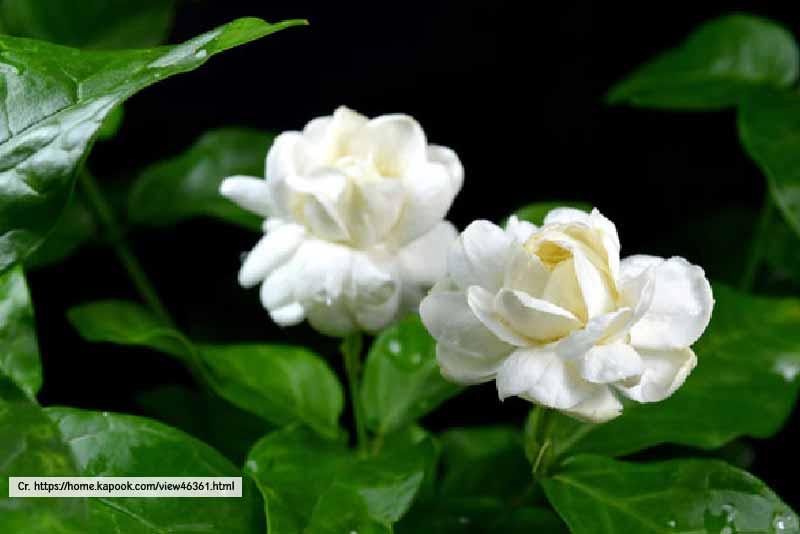 Jasmine - Thailand Tropical Garden