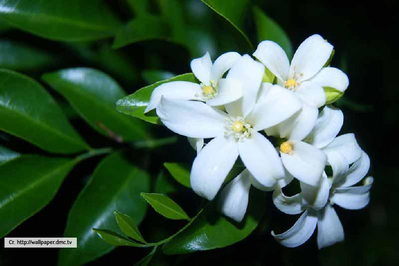 Orange Jasmine - Thailand Tropical Garden